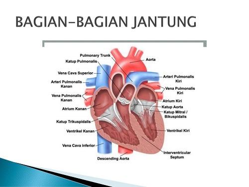 Kesehatan Jantung Pada Manusia Agm Medica